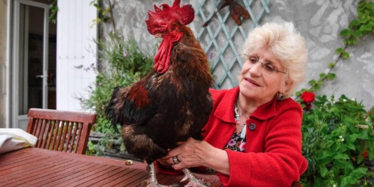 VIDEO. Aplazan juicio de un gallo acusado de cantar demasiado temprano