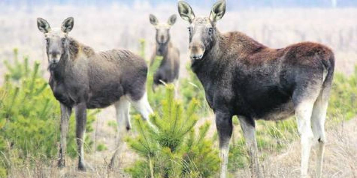 El renacer de la fauna salvaje de Chernobyl