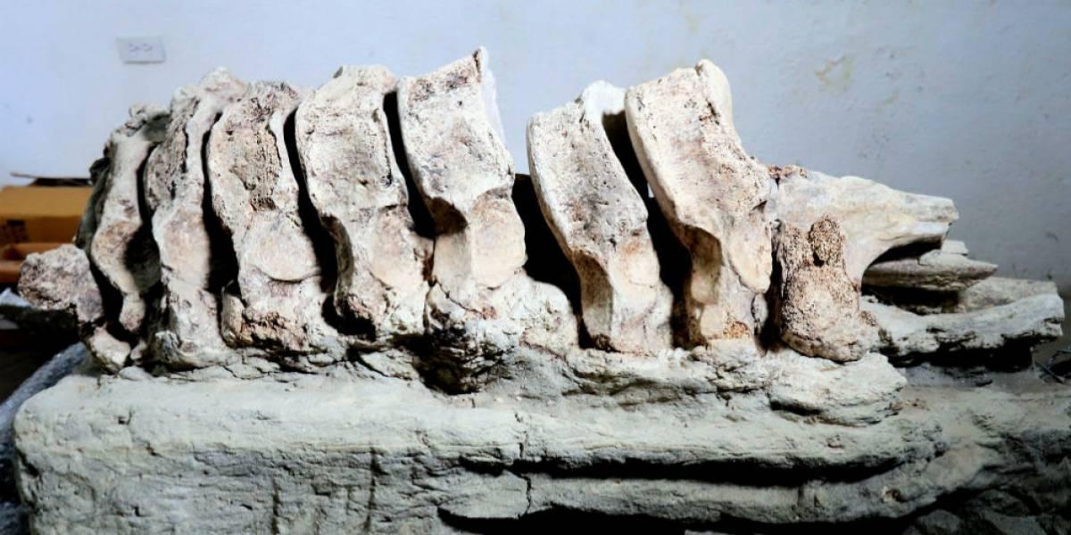 Hallan posibles restos de mamut en Puebla