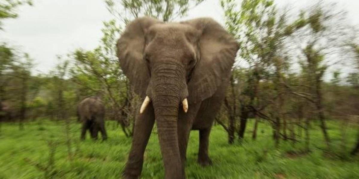 No lo vio venir: guardia quería proteger a un grupo de mineros del ataque de leones sueltos pero murió aplastado por un elefante