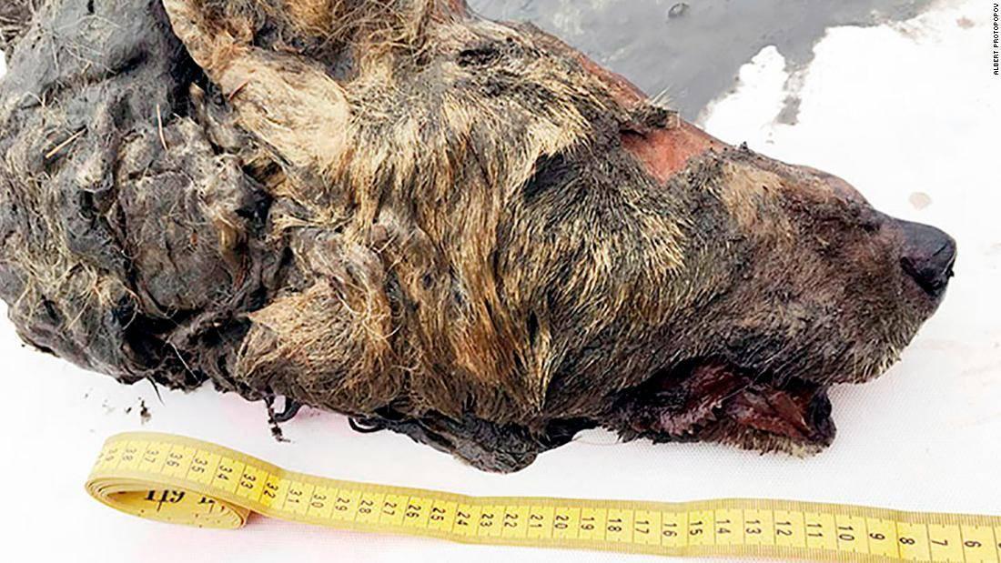Encuentran en Rusia la cabeza conservada de un lobo que vivió hace miles de años