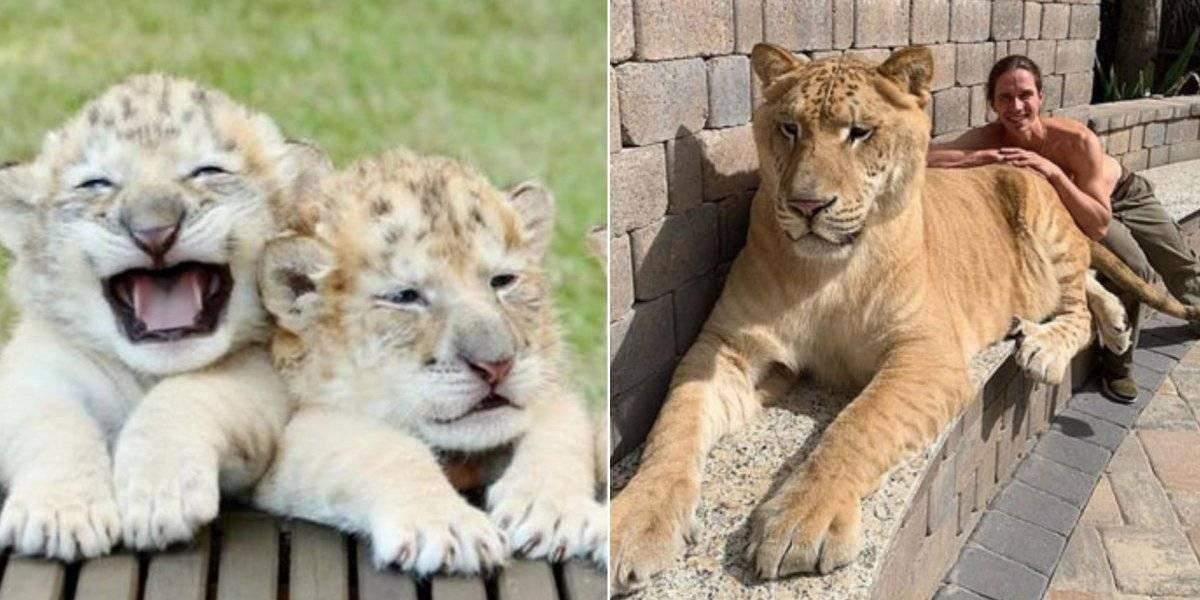 Filhote de tigresa com leão se torna um dos maiores felinos do mundo e seus vídeos fazem sucesso nas redes sociais