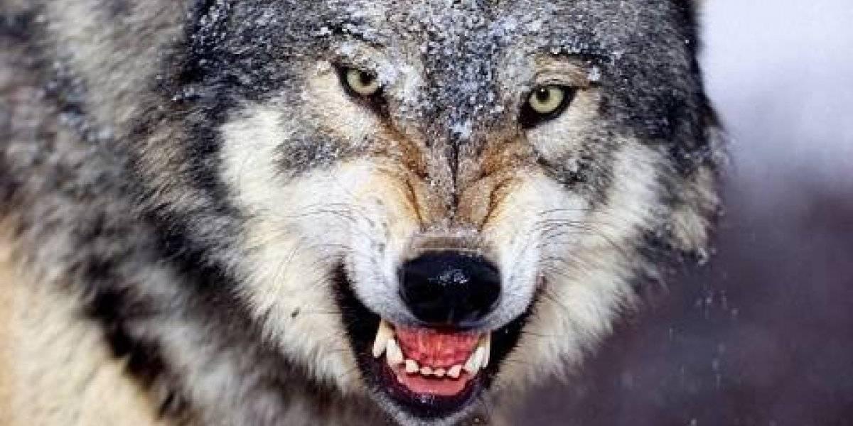 Vivió hace 40.000 años: encuentran cabeza intacta de lobo gigante dos veces más grande que los actuales