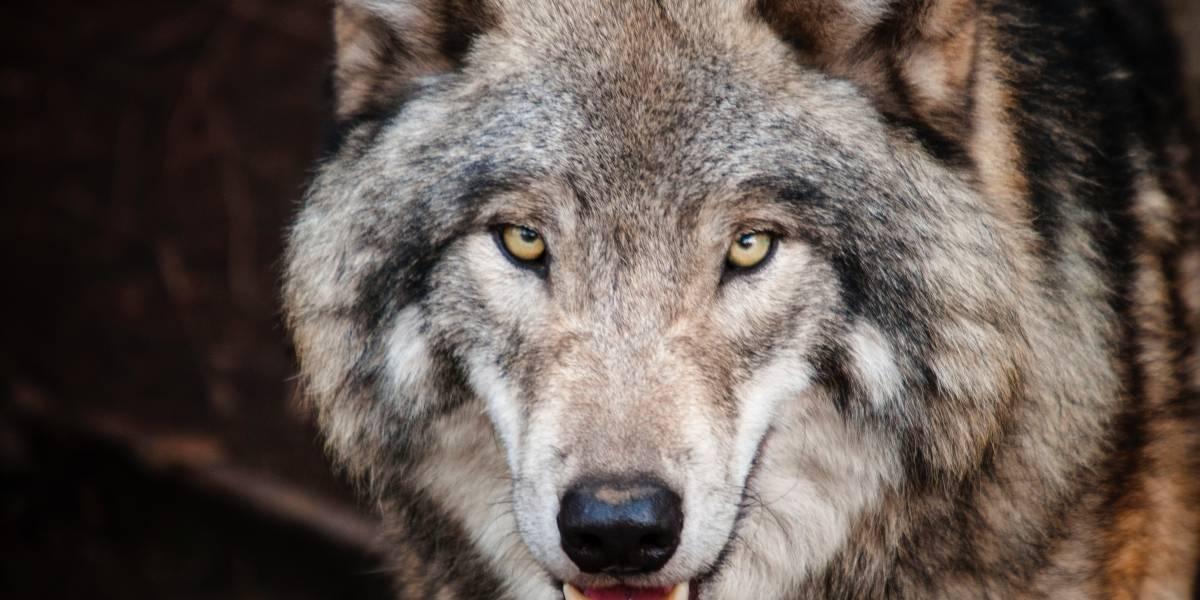 Encuentran en Rusia la sorprendente cabeza conservada de un lobo que vivió hace miles de años