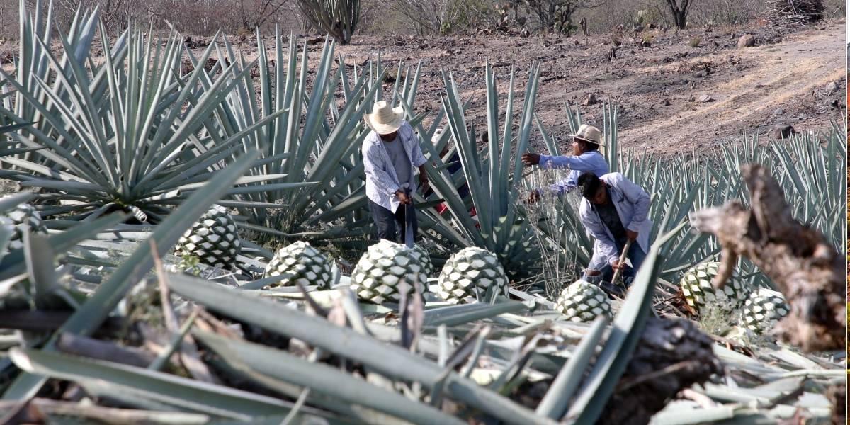 Aprende cómo se elabora el mezcal a través de un tour en Oaxaca