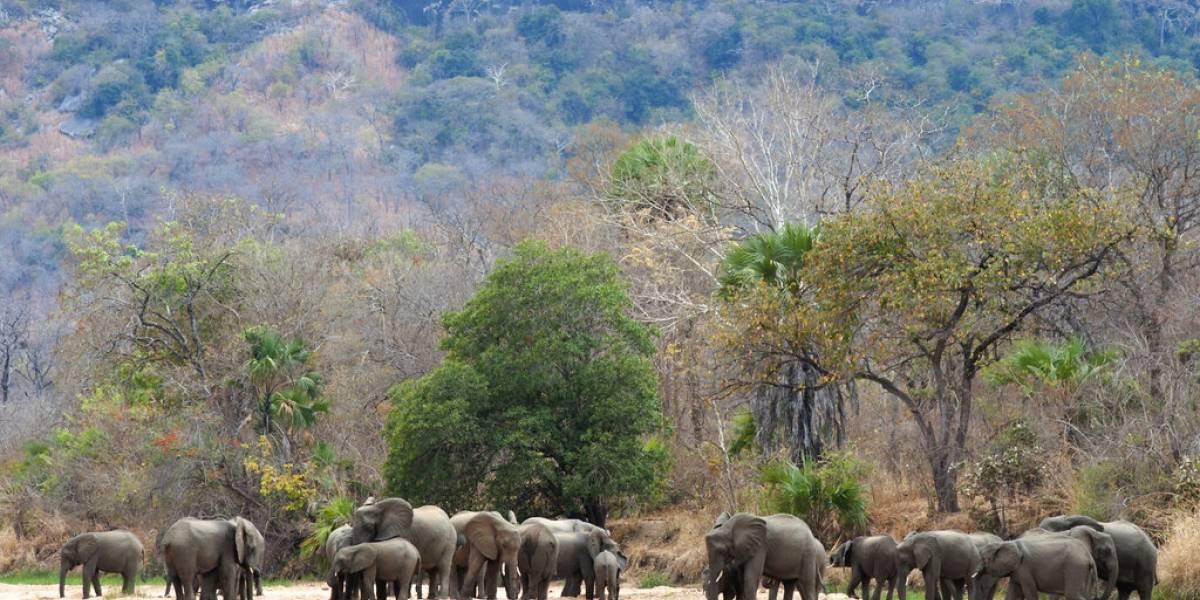 Un año sin caza furtiva de elefantes en reserva africana