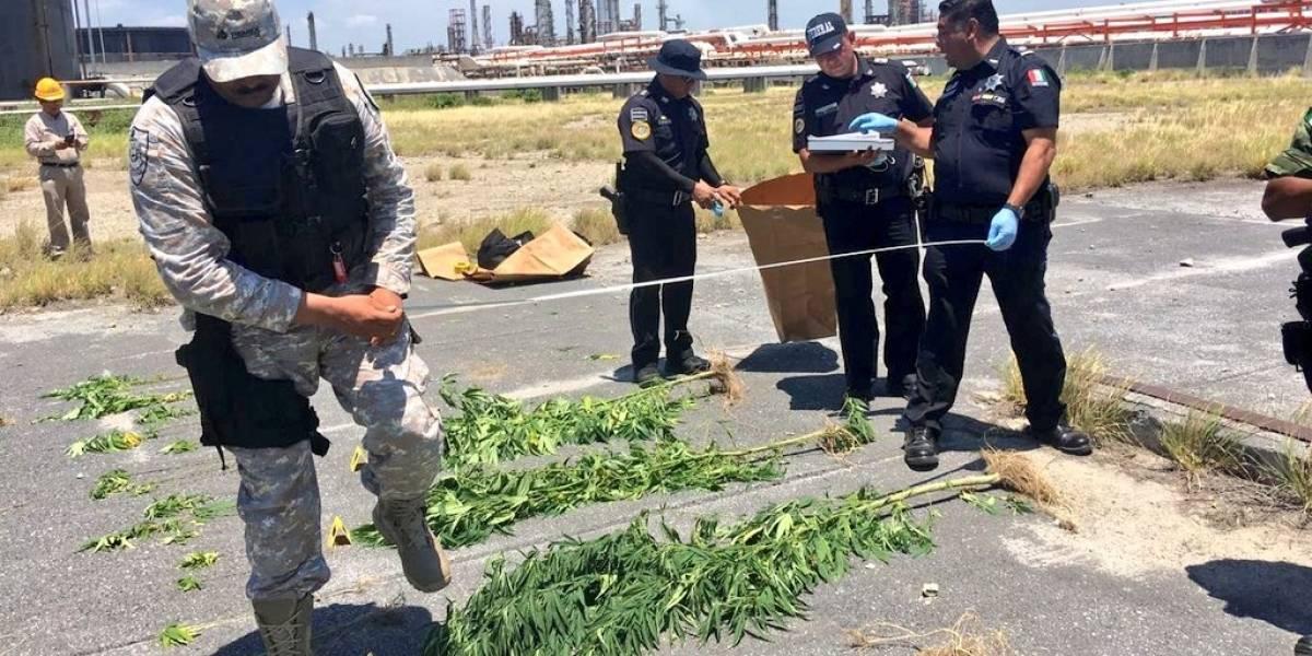 Encuentran plantas de mariguana dentro de refinería de Pemex