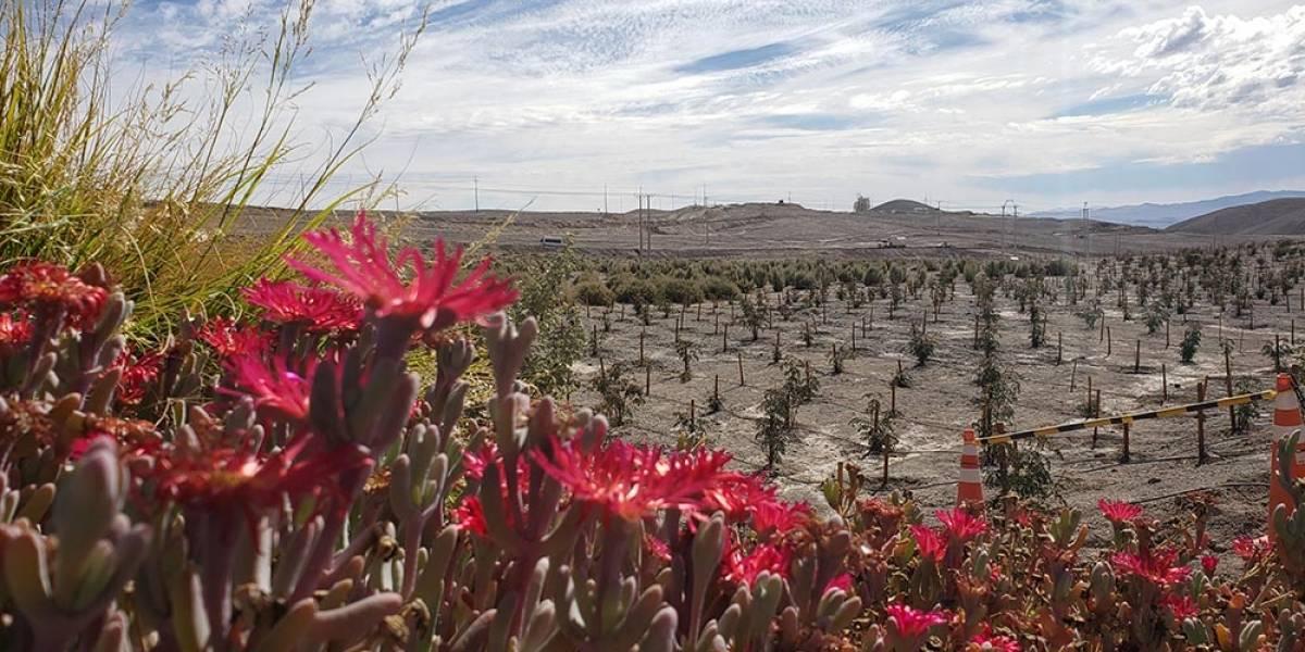 Sembrando el Desierto de Atacama: el proyecto a 3200 metros de altitud para luchar contra el cambio climático con pimientos y tamarugos