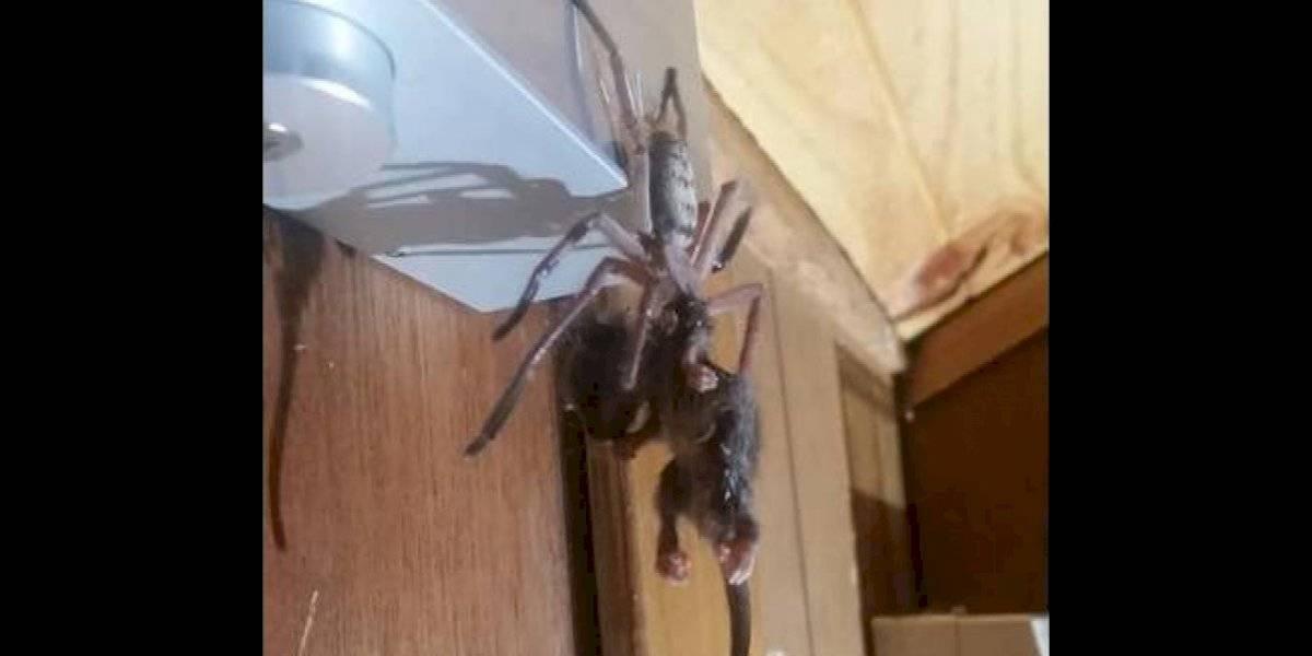 Araña gigante devora una zarigüeya frente a unos turistas