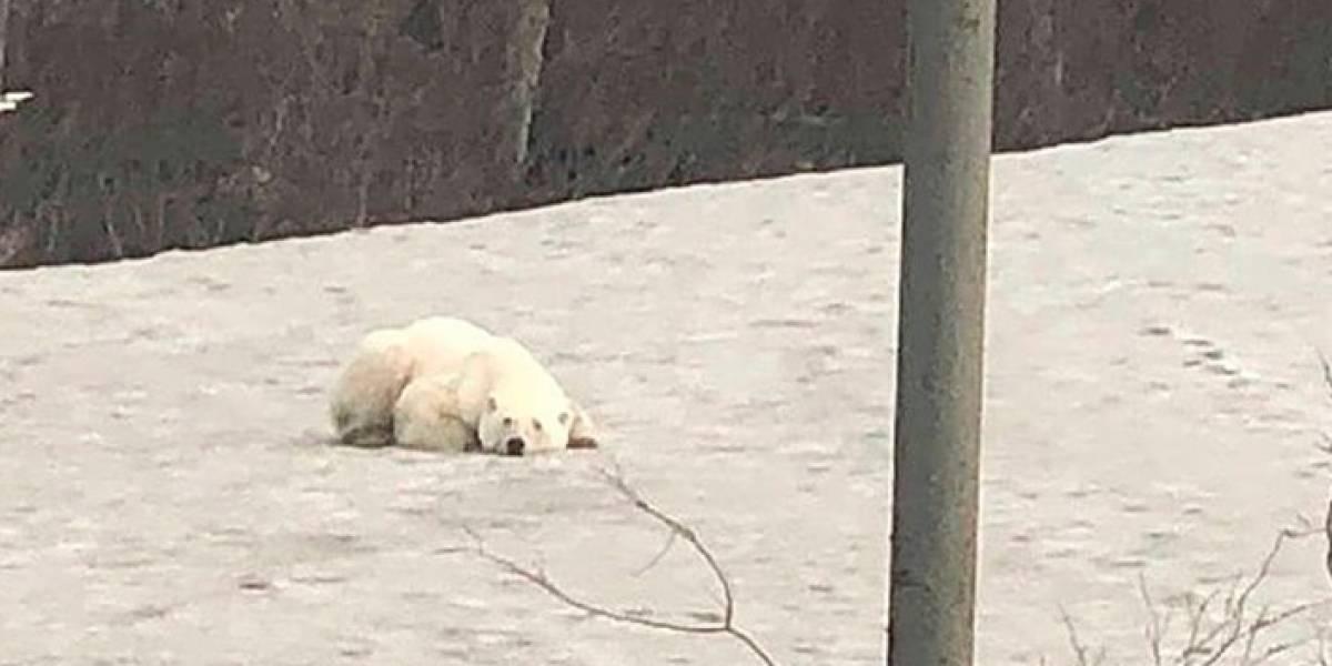 Oso polar hambriento aparece a 800 km de su hábitat natural