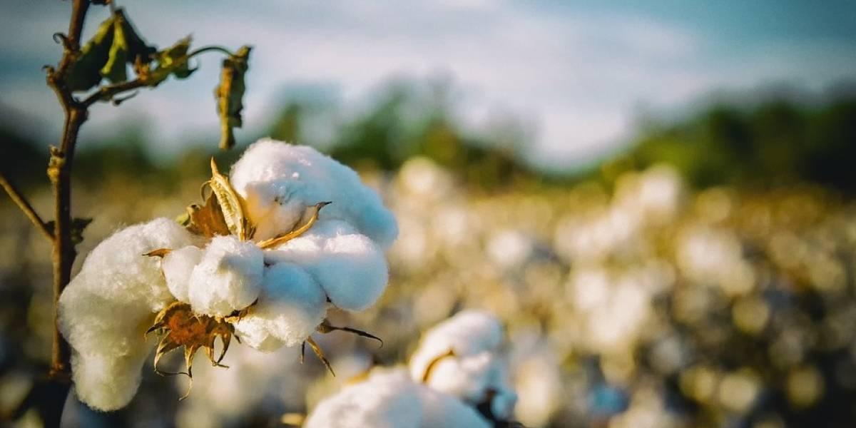 Algodón, la fibra textil más amigable para el medio ambiente