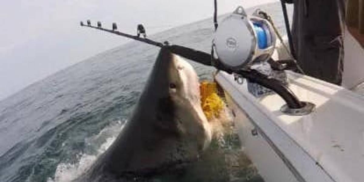 Pescadores gravam momento em que grande tubarão branco abocanha seu barco