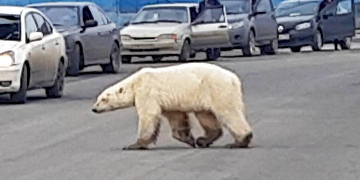 Oso polar se pasea por calles de Rusia lejos de su hábitat
