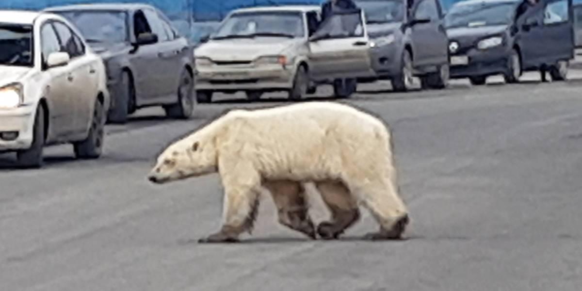 Encuentran a oso polar hambriento a kilómetros de su hábitat