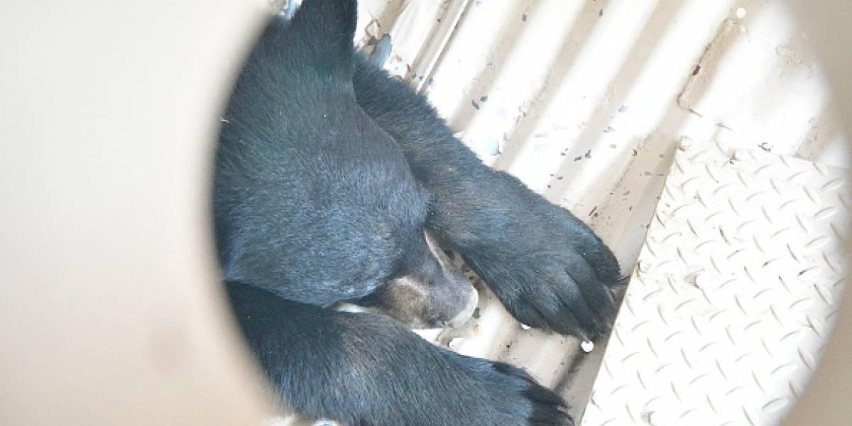Para proteger a las personas: cachorro de oso salvaje fue sacrificado porque estaba acostumbrado a que turistas lo alimentaran