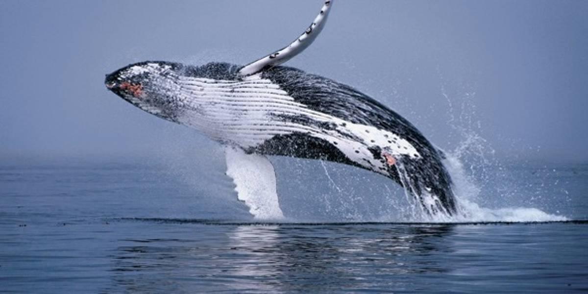 Ballenas nadan 7 000 kilómetros para llegar al Ecuador
