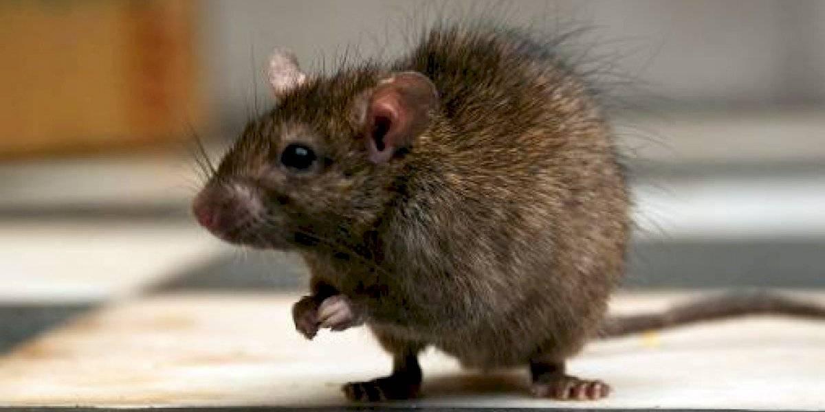 Hordas de ratas invaden una ciudad neozelandesa