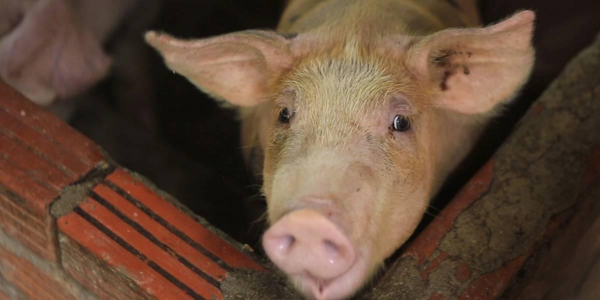 Países asiáticos buscan contener brotes de fiebre porcina