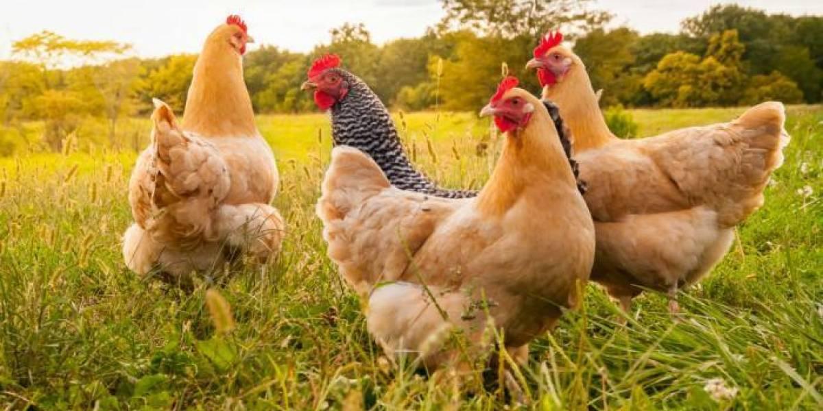 Investigación plantea que los huevos de gallina podrían tener la solución al coronavirus