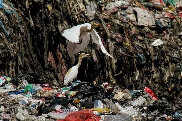 Un grupo de cigüeñas se ve buscando comida entre la basura en un basurero en Lhokseumawe, Aceh, Indonesia Getty