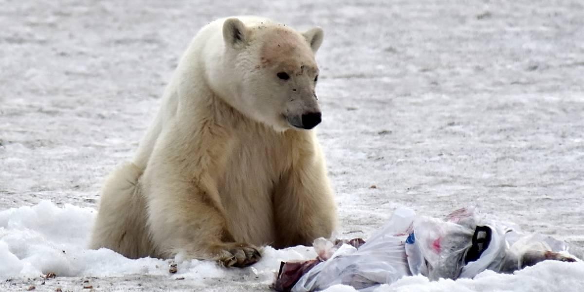 Estaba hambriento y agotado vagando por una ciudad de Rusia: la dramática verdad tras la historia del oso polar que impactó al mundo