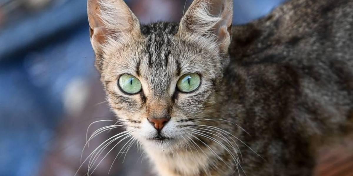 Un estudio demuestra que los gatos adoptan la forma de ser de los humanos