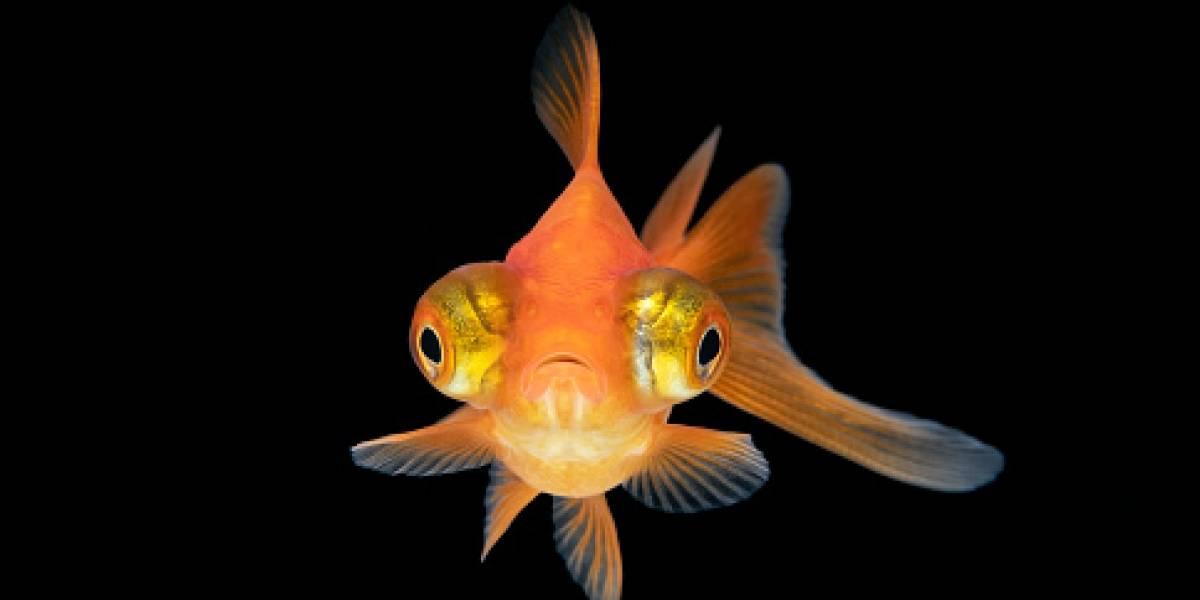 """¿Qué es ese monstruo? atrapó un pez """"dorado gigante"""" y creyó que era de una especie mutante"""