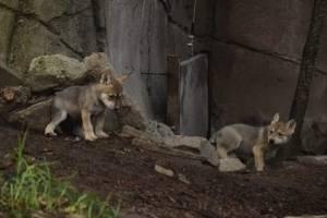 https://www.publimetro.com.mx/mx/destacado-tv/2019/06/24/asi-los-nuevos-lobos-mexicanos-nacidos-zoologico-chapultepec.html