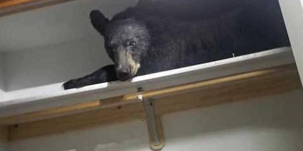 Urso se esconde e tira soneca em guarda-roupas nos Estados Unidos