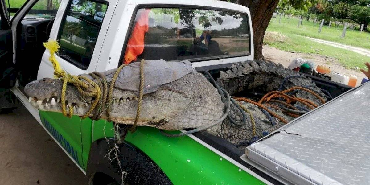 Atrapan a cocodrilo de casi 4 metros en Oaxaca