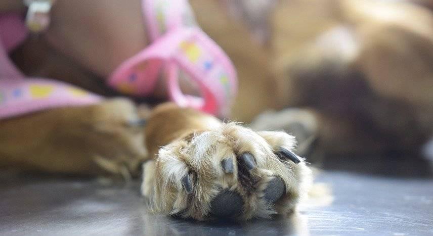 Los cachorros llegan a las veterinarias casi sin aliento luego que son rescatados de criaderos de animales, denuncian activistas.