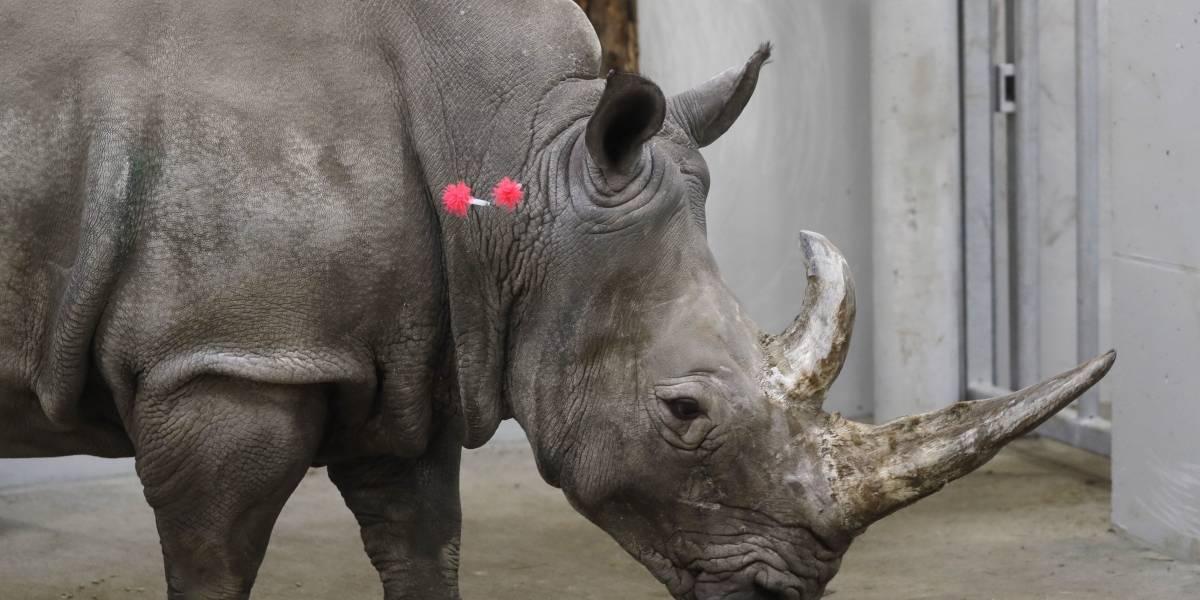 ¿Revivirá la especie? Fertilizan in vitro a una de las últimas rinocerontas blancas del mundo