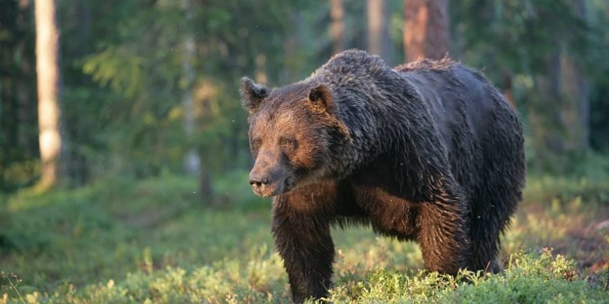 """Con la piel podrida y casi momificado: hombre sobrevive después de que un oso lo mantuviera """"como alimento"""" en su cueva por un mes"""
