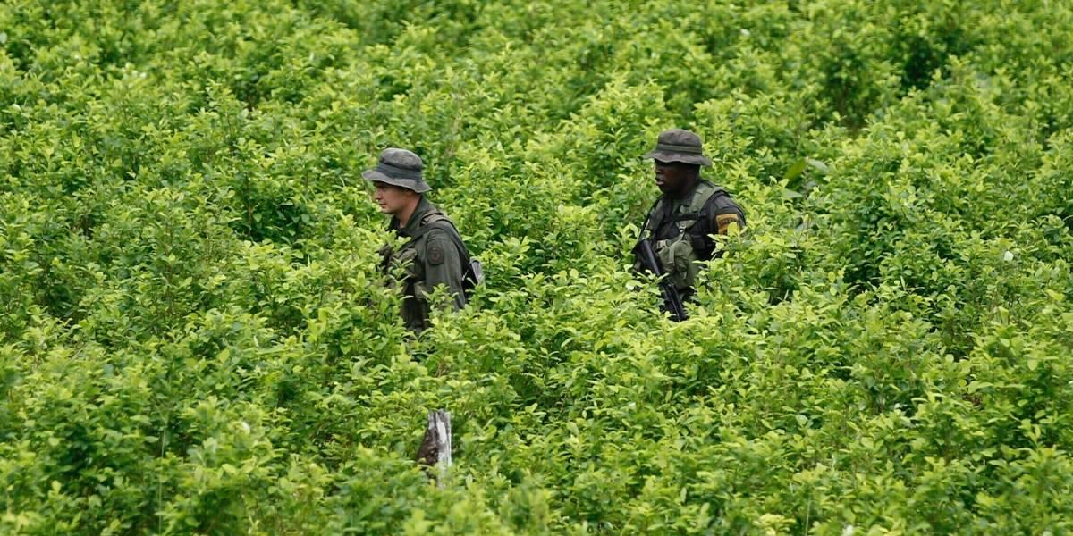 EEUU: Cultivo de coca en Colombia cayó en el 2018