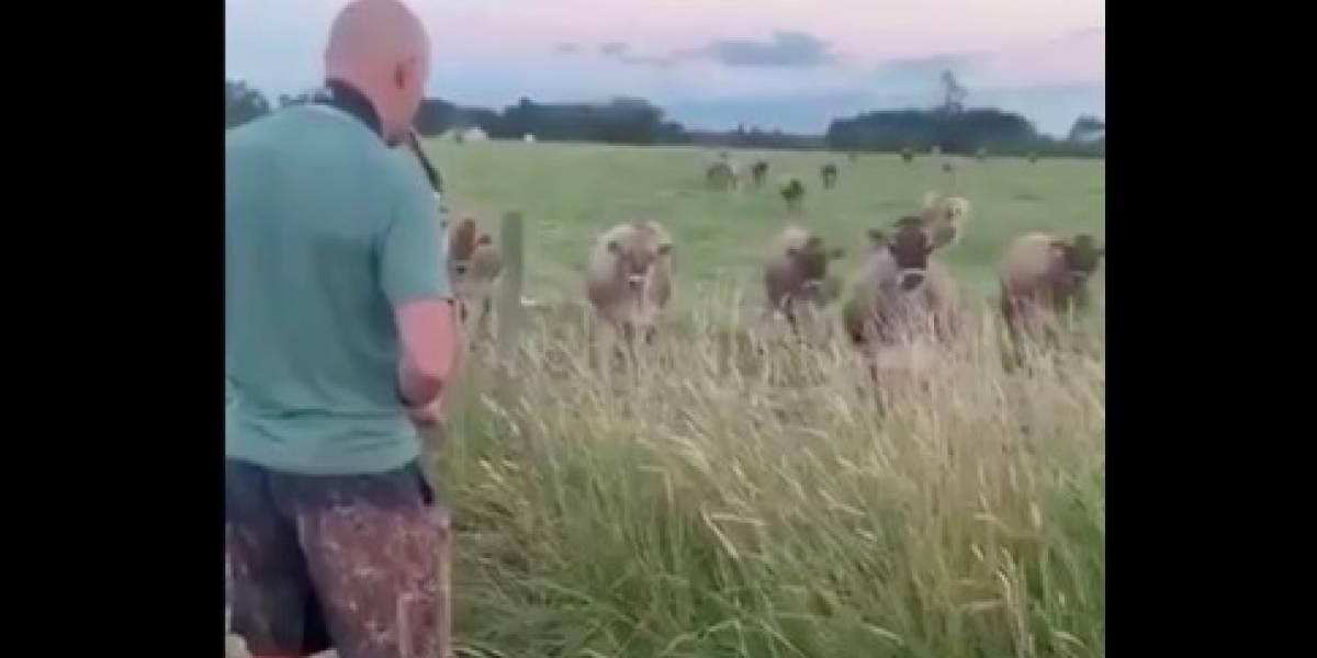 """""""El mejor público"""": hombre se vuelve viral por el divertido recital de saxofón que brindó a un atento grupo de vacas"""
