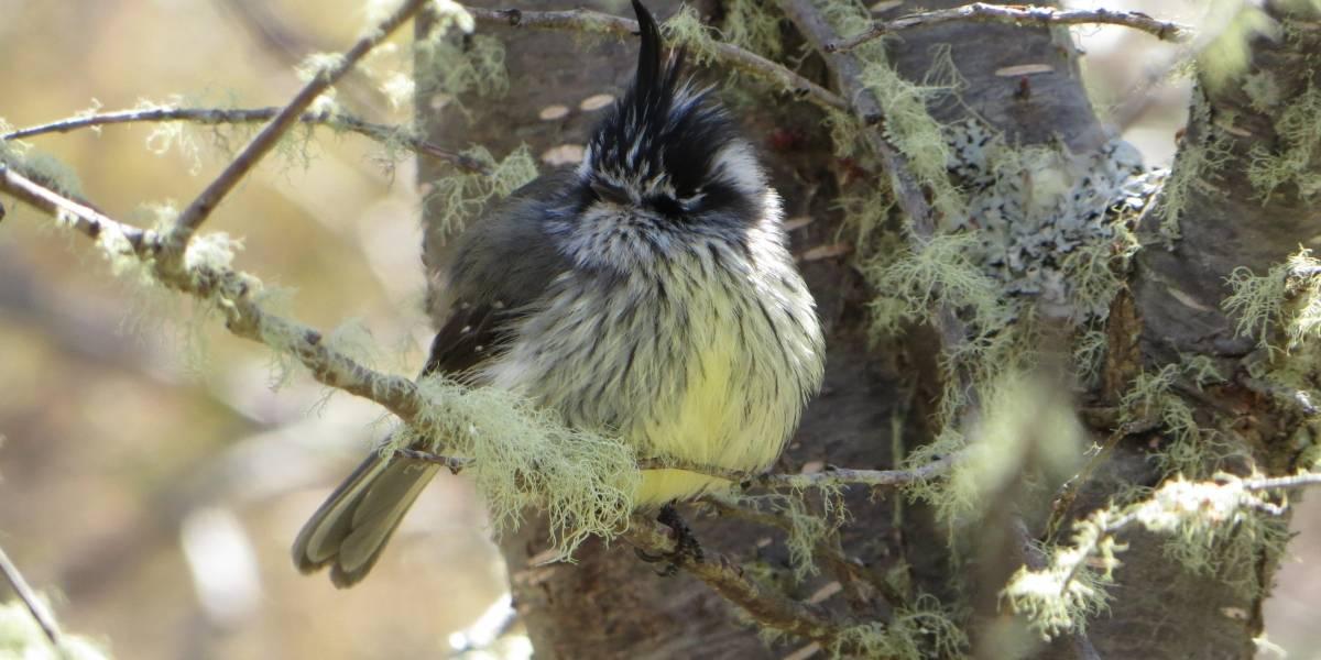 Modificar los nidos o morir: el incierto futuro de las aves del fin del mundo