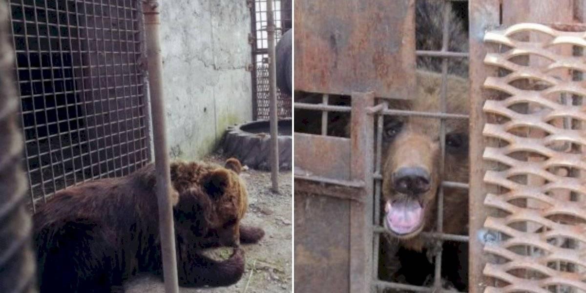 Homem bêbado tenta acariciar urso que era mantido como 'cão de guarda' e tem braço arrancado