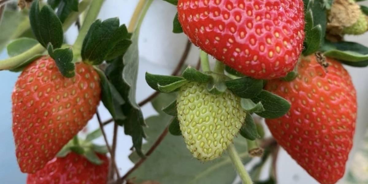 Suspendido el recogido de fresas en la finca de Barranquitas