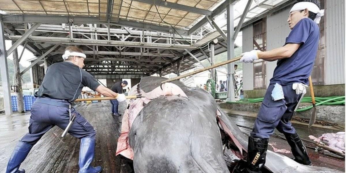 ¿Por qué Japón insiste en cazar ballenas?