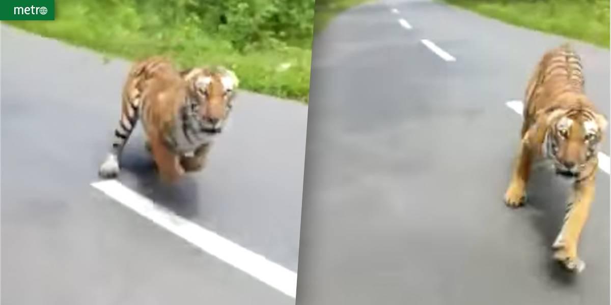 Pediu carona? Tigre corre adoidado atrás de motociclistas em parque na Índia