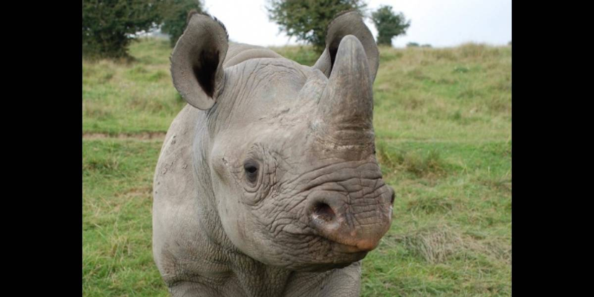 Muere rinoceronte negro en peligro de extinción que era llevado de Europa a África como parte de un proyecto de conservación