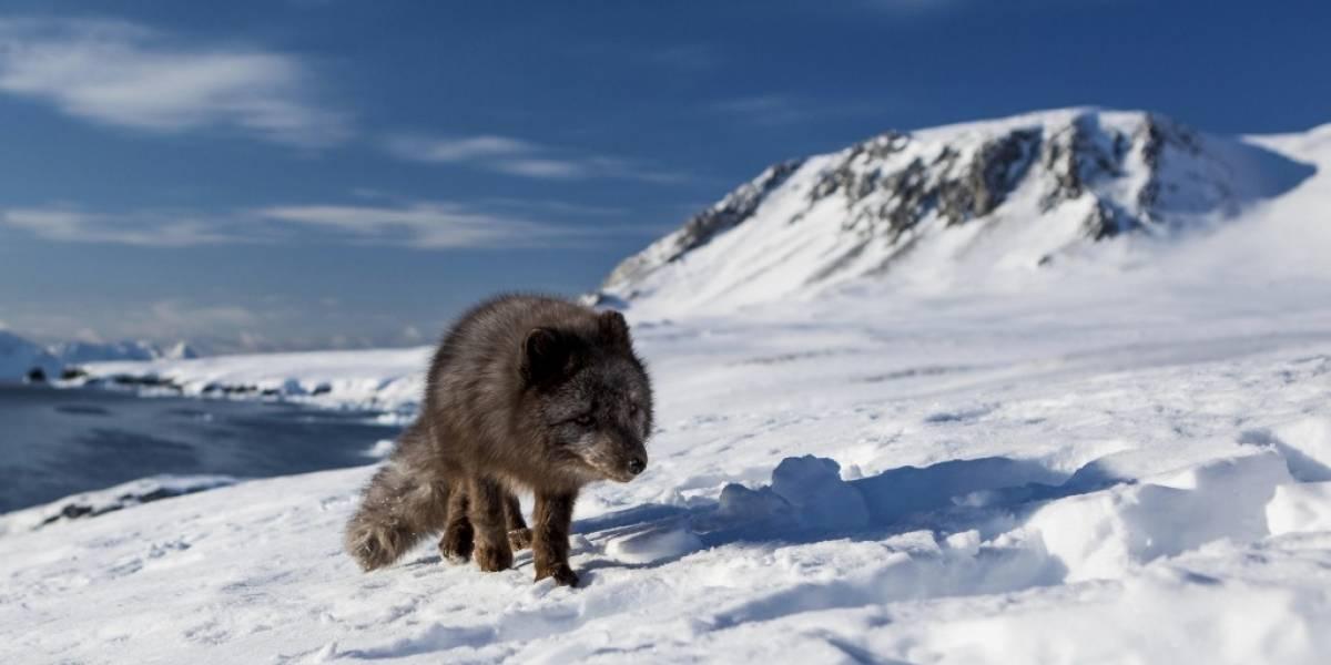 De Noruega a Canadá por el hielo: la épica travesía de una zorra por el Ártico que dejó sin palabras a la ciencia