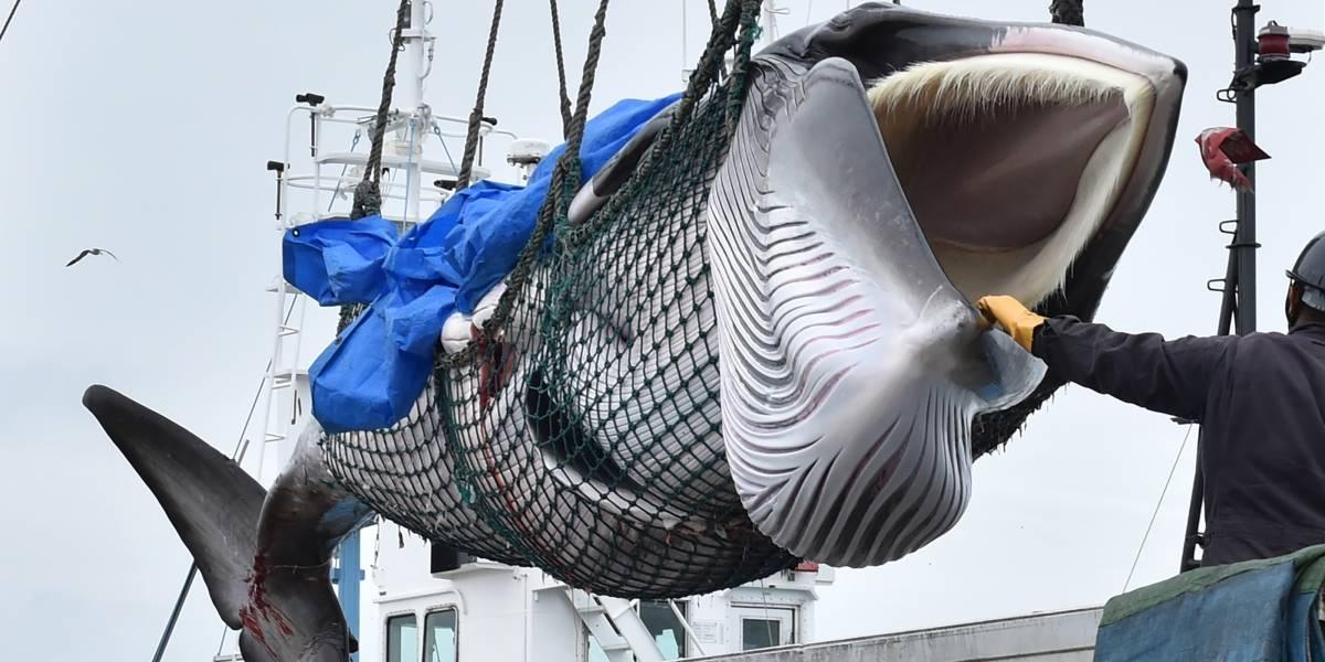 VIDEO. Así retomó Japón la caza comercial de ballenas