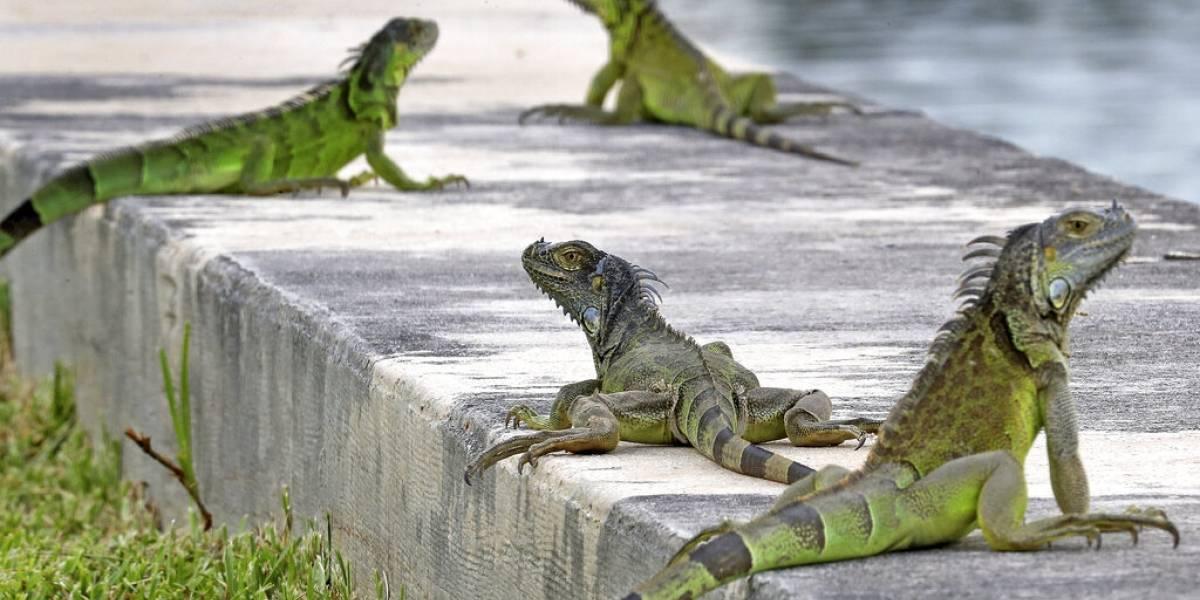 Polémica: alientan a las personas a salir a la calle a matar iguanas