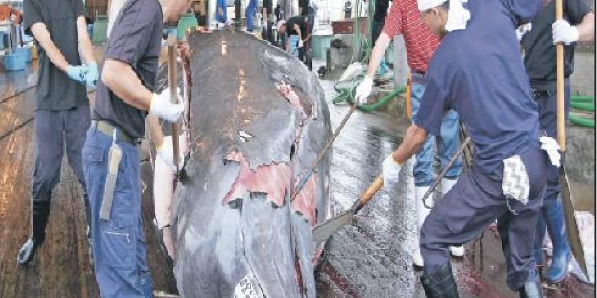 ¿Por qué Japón insiste en la caza de ballenas?
