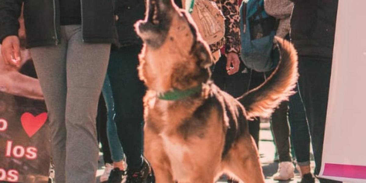 """""""Siempre vamos a estar Cabezón"""": la historia de la ciudad que se unió para lograr que perrito callejero pueda seguir viviendo en libertad"""