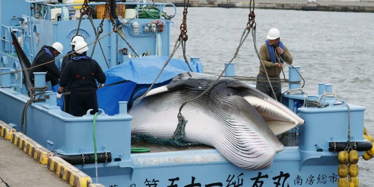 El kilo de carne de ballena se está vendiendo a 140 dólares en Japón