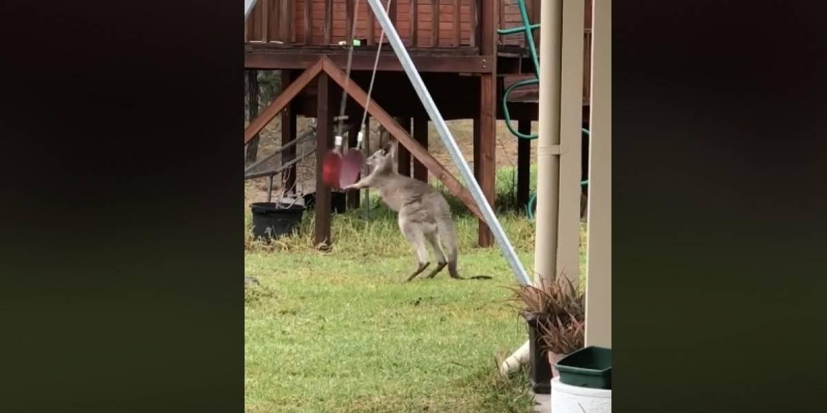Por más ratos como el del canguro jugando en un columpio: mujer registró el más tierno viral justo en el patio de su casa