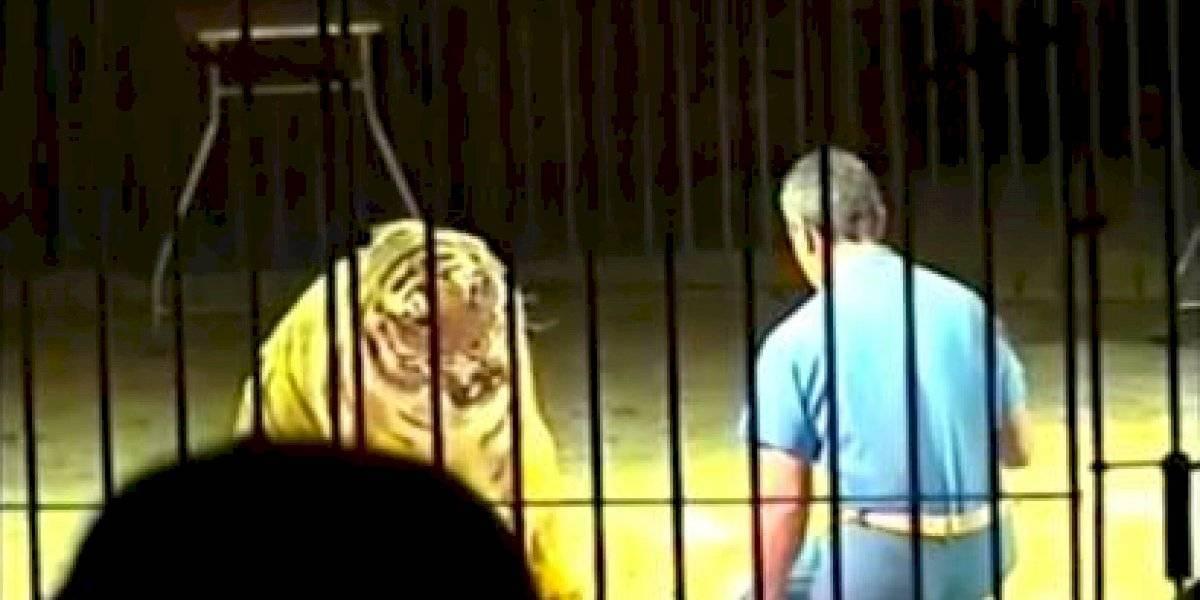 Famoso domador murió luego de ser atacado por sus cuatro tigres mientras ensayaba su show