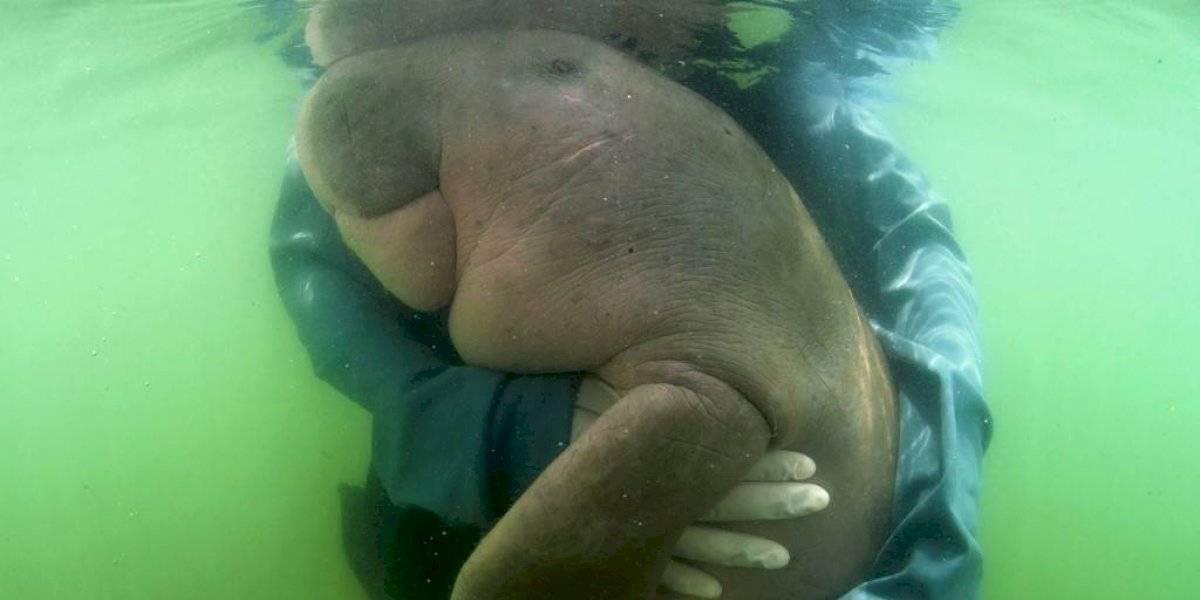 Cría huérfana de dugongo es estrella entre ecologistas que la alimentan con abrazos